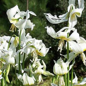 Erythronium californicum 'Harvington Snowgoose'