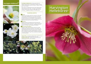 Harvington Hellebores® brochure