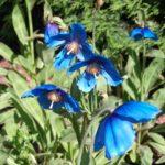 Meconopsis sheldonii 'Slieve Donard'