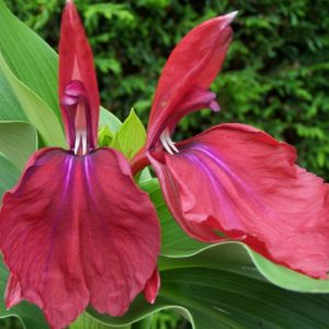 Roscoea 'Harvington Imperial'
